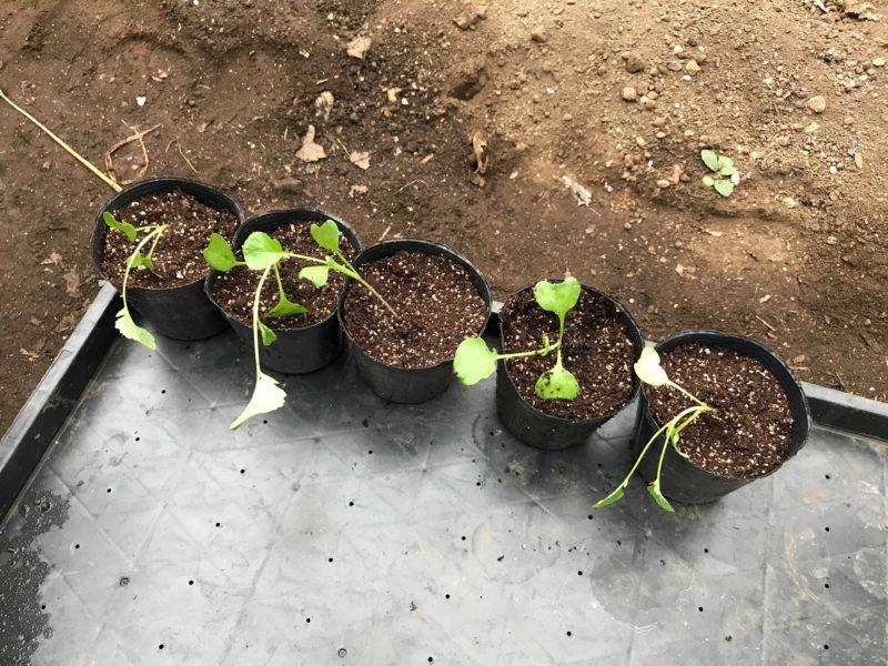 植え替え作業をした苗